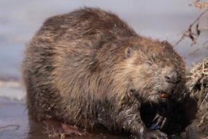 Ekopatrol uratował rannego bobra