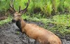 Leśnicy uratowali jelenia, który ugrzązł w błocie