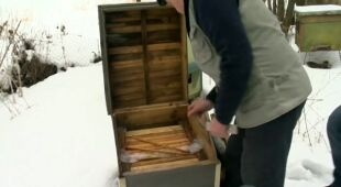 Nieustająca zima zagraża pszczołom (TVN24)